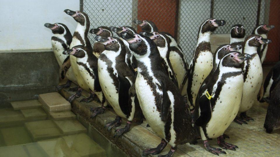 Tučňáci zoo Zlín ukrytí před mrazy