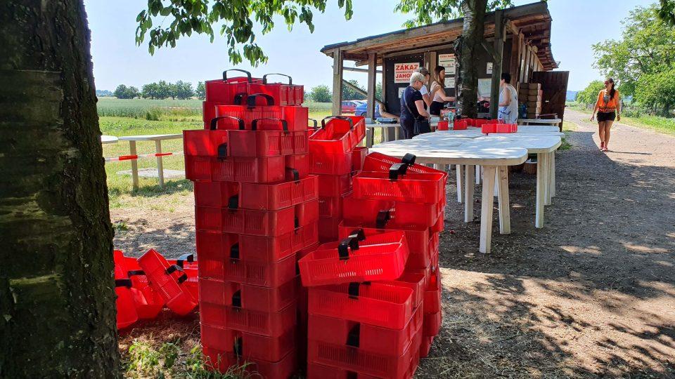 Samosběr jahod v Holešově na Kroměřížsku (červen 2021)