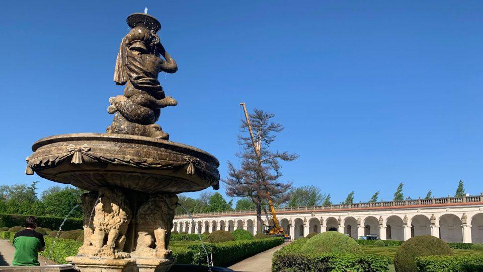 Kácení 120 let staré borovice v Květné zahradě v Kroměříži