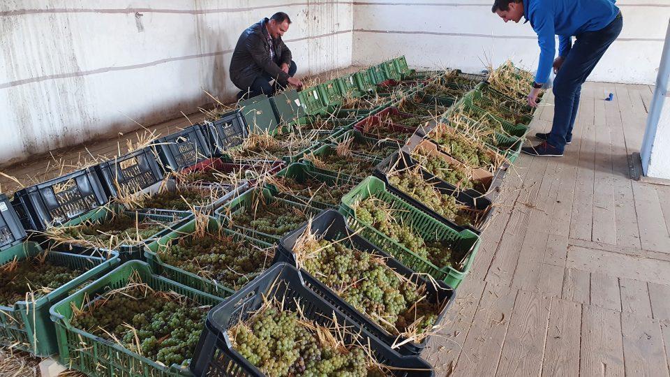 Slámové víno - sušení hroznů trvá až půl roku