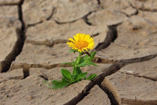 Sucho, květina