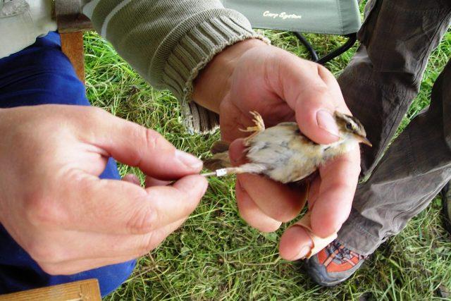 Kroužkování ptáků v ptačí oblasti u Rožďalovických rybníků na Kopidlensku
