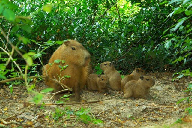 Kapybary v ZOO Zlín