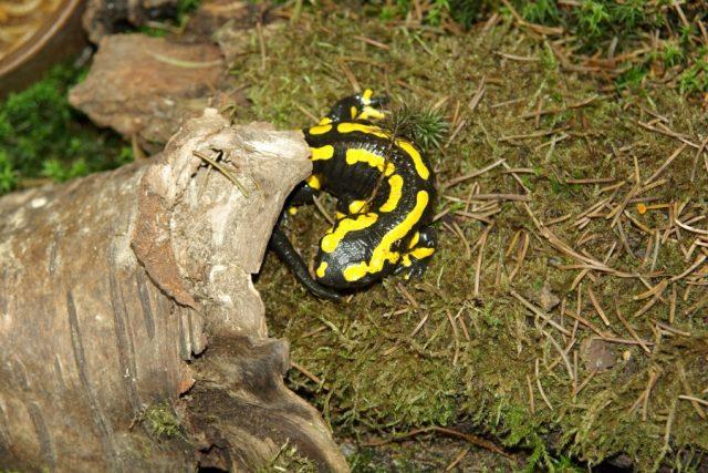 V pralese Ščúrnica žije také řada vzácných živočichů, například Mlok skvrnitý
