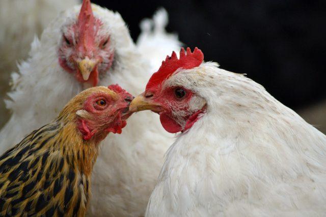 Kuře - slepice - kohout - drůbež