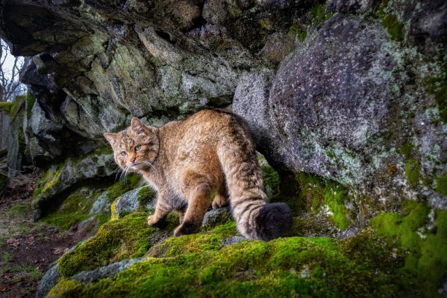 Tuto kočku divokou zachytila fotopast v Doupovských horách