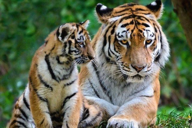 Tygři v Zoo Zlín