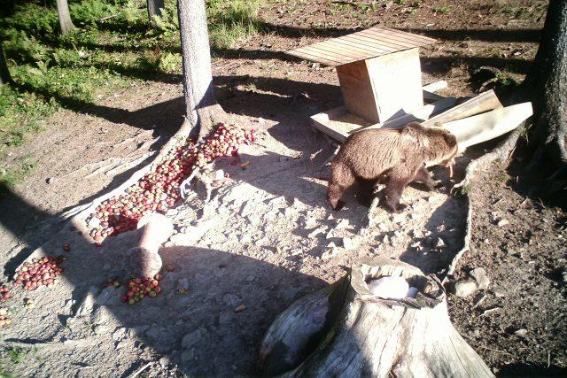 Medvěd zachycený ve fotopasti u Valašské Polanky
