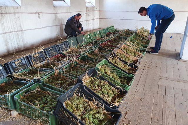 Slámové víno - sušení hroznů trvá až půl roku   foto: Roman Verner,  Český rozhlas
