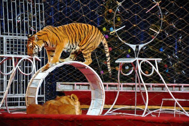 cirkus, tygr, drezura šelem