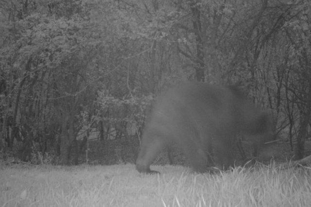 Fotografie medvěda z fotopasti u obce Mistřice na Uherskohradišťsku, 29. dubna 2021