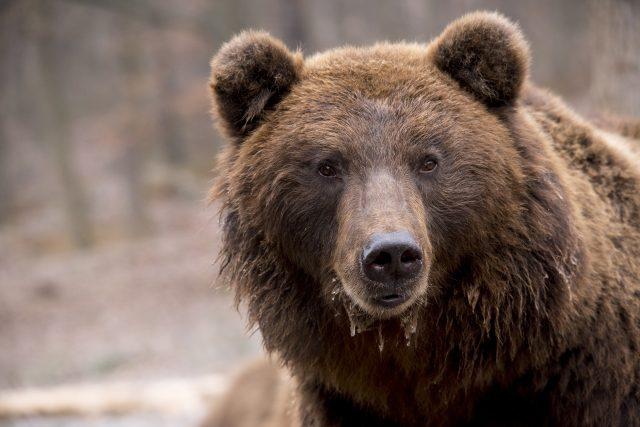 Medvěd hnědý (ilustrační foto)