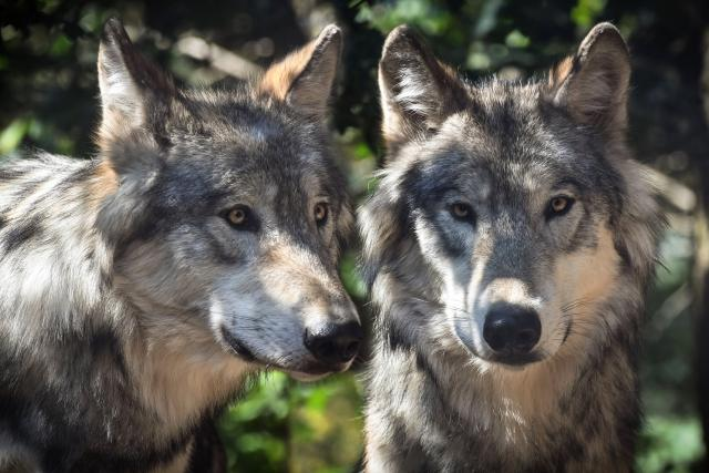 Vlk (ilustrační foto)